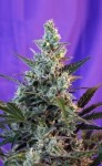 SWEET SEEDS - Sweet Skunk F1 Fast Version