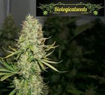 Biological Seeds - Auto Amnesia Haze