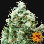 BARNEY'S FARM - Phatt Fruity