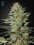 GREEN HOUSE SEEDS - Exodus Cheese Auto