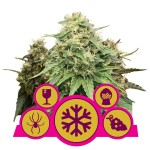 ROYAL QUEEN SEEDS - Feminizowany Mix