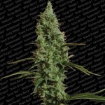 PARADISE SEEDS - Atomical Haze