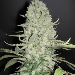 FEMALESEEDS - White Widow x Big Bud