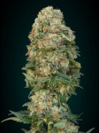 ADVANCED SEEDS - Feminized Collection #1