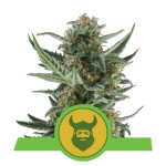ROYAL QUEEN SEEDS - Royal Dwarf Automatic