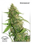 DUTCH PASSION - CBD Auto Compassion Lime®