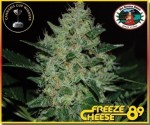 BIG BUDDHA SEEDS - Freeze Cheese '89