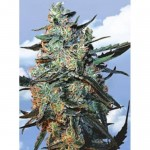 FLYING DUTCHMEN - Feminized Mix