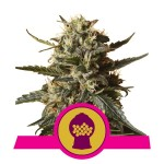 ROYAL QUEEN SEEDS - Bubblegum XL