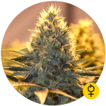 THE BULLDOG SEEDS - Jack Herer Auto