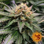 BARNEY'S FARM - Amnesia Lemon