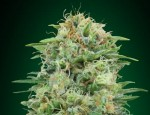00 SEEDS BANK - White Widow CBD