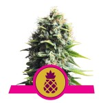 ROYAL QUEEN SEEDS - Pineapple Kush