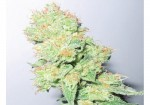 MEDICAL SEEDS - Y Griega CBD