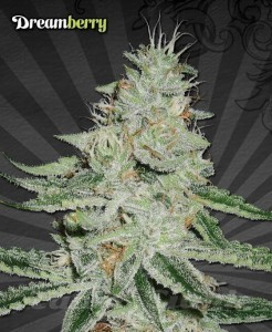 AUTO SEEDS - Dreamberry