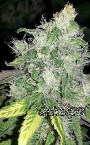 Biological Seeds - Canadian Cream
