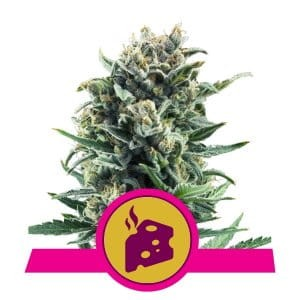 ROYAL QUEEN SEEDS - Blue Cheese