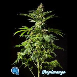 PHILOSOPHER SEEDS - Tropimango