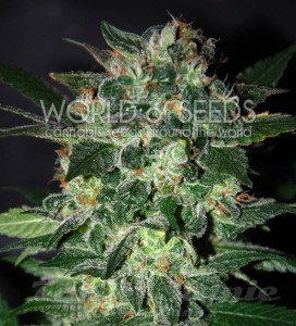 WORLD OF SEEDS - Domina Star