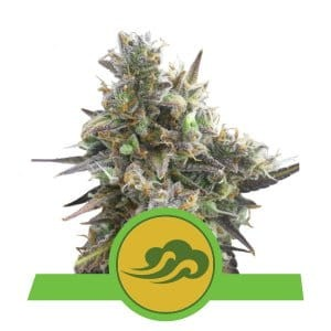 ROYAL QUEEN SEEDS - Royal Bluematic Automatic