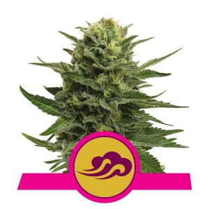 ROYAL QUEEN SEEDS - Blue Mystic®