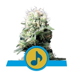 ROYAL QUEEN SEEDS - Dance World CBD