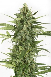 DINAFEM - Blue Cheese Autoflowering