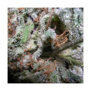 PARADISE SEEDS - Indica Champions