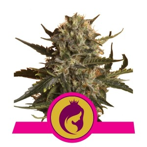 ROYAL QUEEN SEEDS - Royal Madre