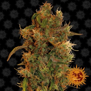 BARNEY'S FARM - 8 Ball Kush