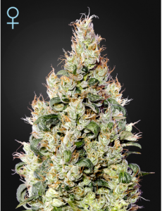 GREEN HOUSE SEEDS -  Exodus Cheese Auto CBD