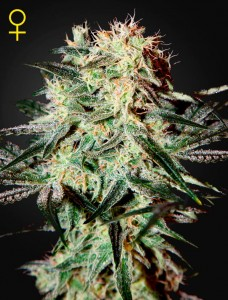 GREEN HOUSE SEEDS - Arjan's Strawberry Haze