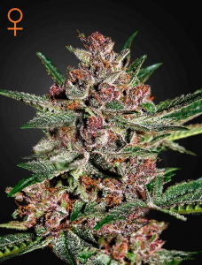 GREEN HOUSE SEEDS - Bubba Kush