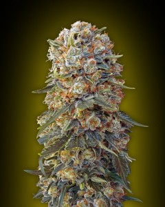 00 SEEDS BANK - Sweet Critical