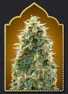 00 SEEDS BANK - Auto 00 Cheese (Hashchis)