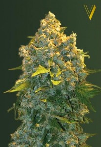 Victory Seeds - Auto Chronic Monster XXL