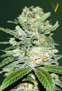 Victory Seeds - Auto Jack Herer