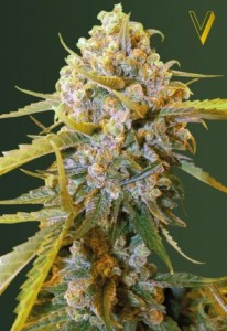 Victory Seeds - Bigest Bud