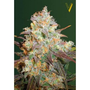 Victory Seeds - Chocolope