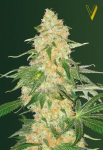 Victory Seeds - Super Skunk