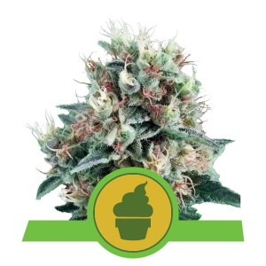 ROYAL QUEEN SEEDS - Royal Creamatic Automatic