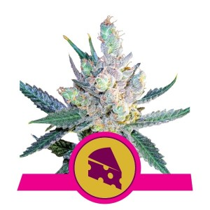 ROYAL QUEEN SEEDS - Royal Cheese® (Fast Version)