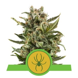 ROYAL QUEEN SEEDS - White Widow Automatic