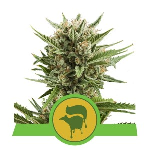 ROYAL QUEEN SEEDS - Sweet Skunk Automatic