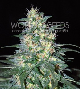 WORLD OF SEEDS - South African Kwazulu