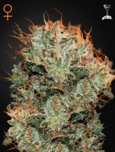 GREEN HOUSE SEEDS - Kaia Kush