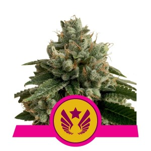 ROYAL QUEEN SEEDS - Legendary Punch