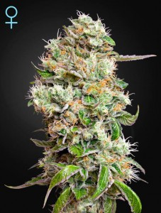 GREEN HOUSE SEEDS - King's Kush Auto CBD