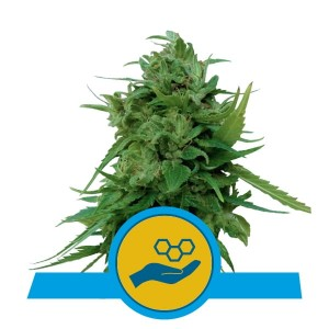 ROYAL QUEEN SEEDS -  Solomatic CBD