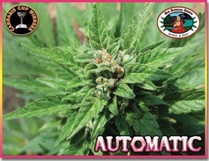 BIG BUDDHA SEEDS - Automatic